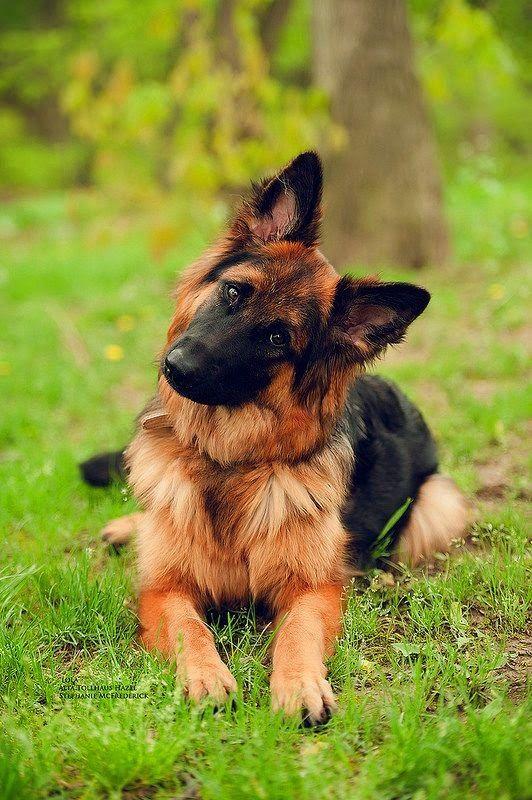 razas de perros grandes pastor alemán