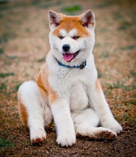 razas de perros lobo akita inu