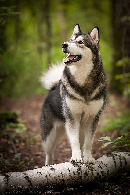razas de perros lobo alaskan malamute