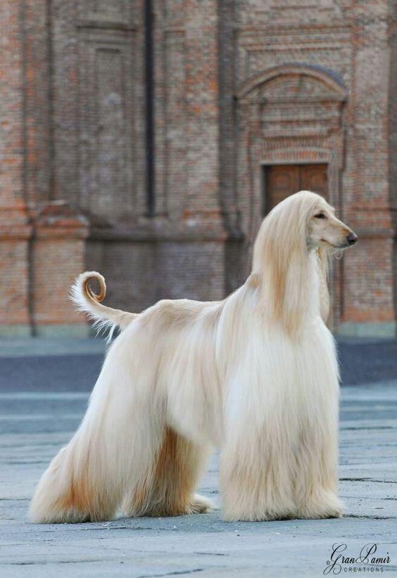 razas de perros lobo galgo afgano