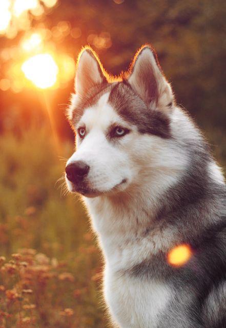 razas de perros lobo husky siberiano