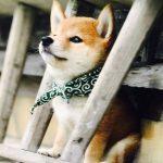 razas de perros lobos shiba inu
