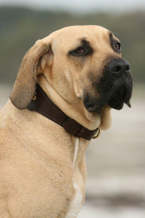 razas de perros muy grandes fila brasileño