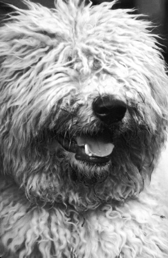 razas de perros muy grandes komondor
