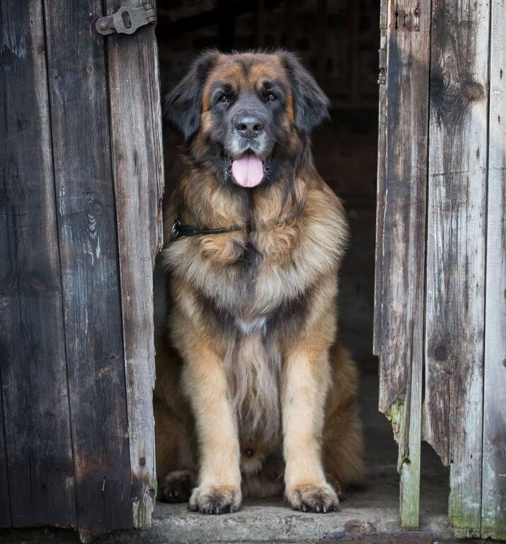 razas de perros muy grandes leonberger