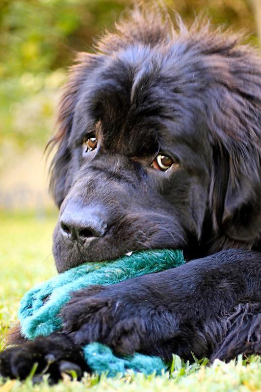 razas de perros muy grandes terranova