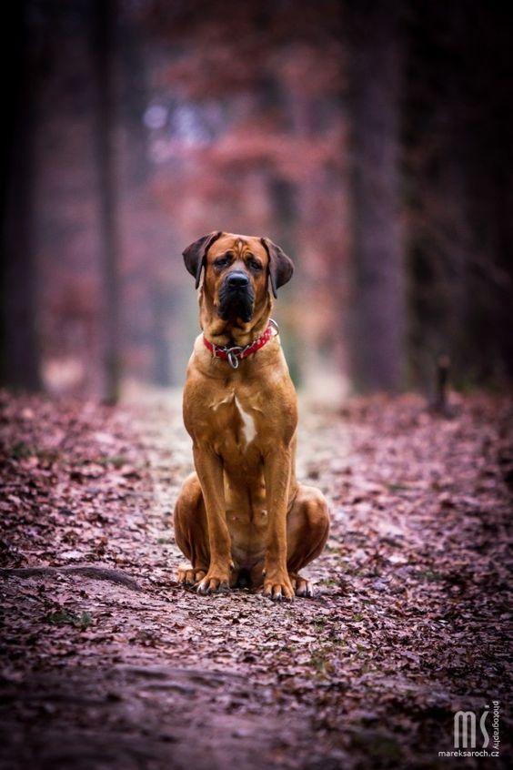 razas de perros muy grandes tosa inu