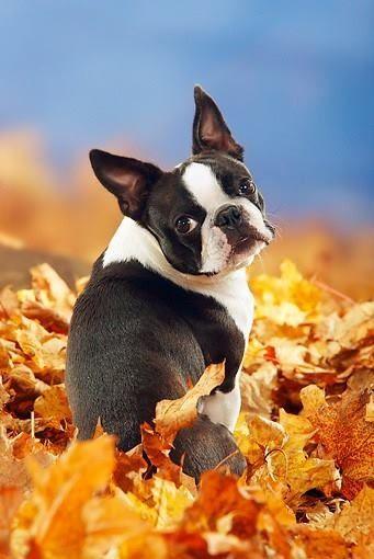 razas de perros que no pierden pelo Boston terrier