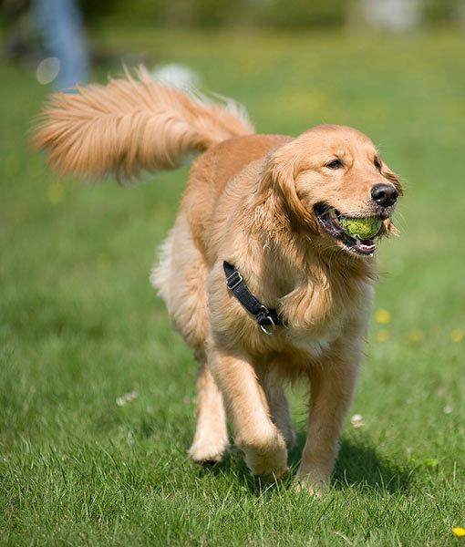 razones por las que los perros mueven la cola