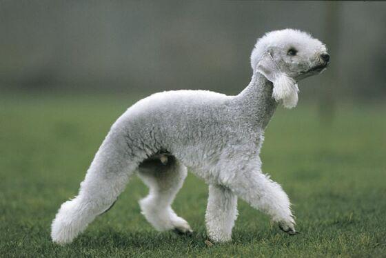 reconocer a un perro de la raza Bedlington Terrier