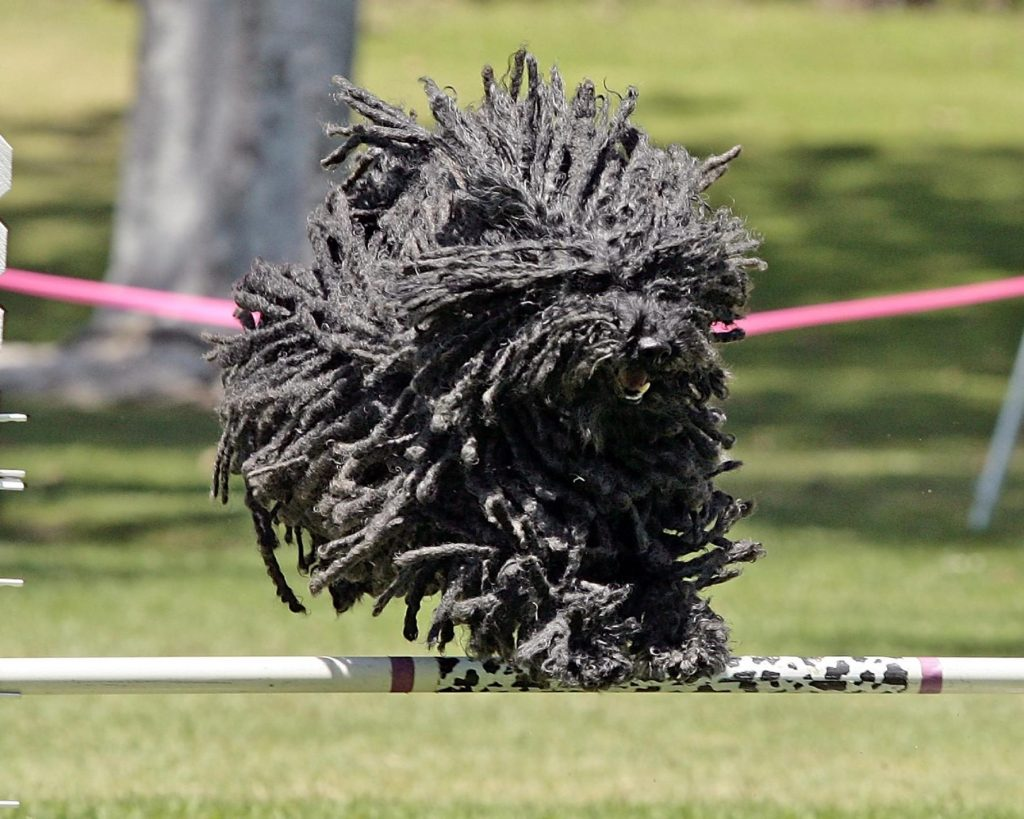 salud de la raza de perro puli