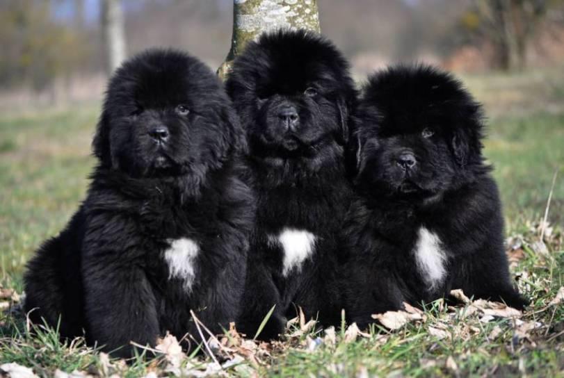 Salud y cuidados de la raza de perros terranova