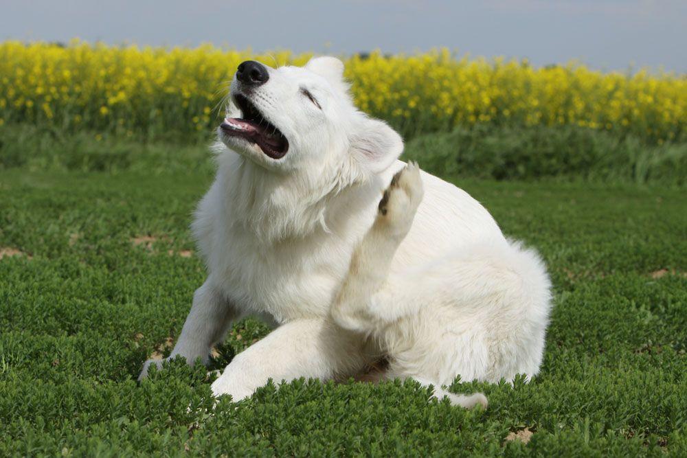 sintomas de la dermatitis en perros