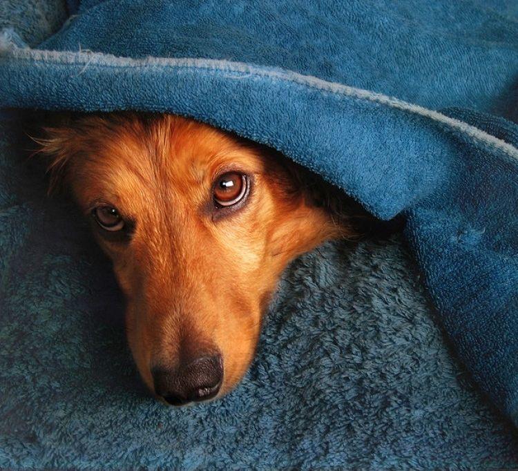 Síntomas de la giardia en perros