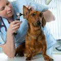 sintomas y tratamiento de la otitis en perros