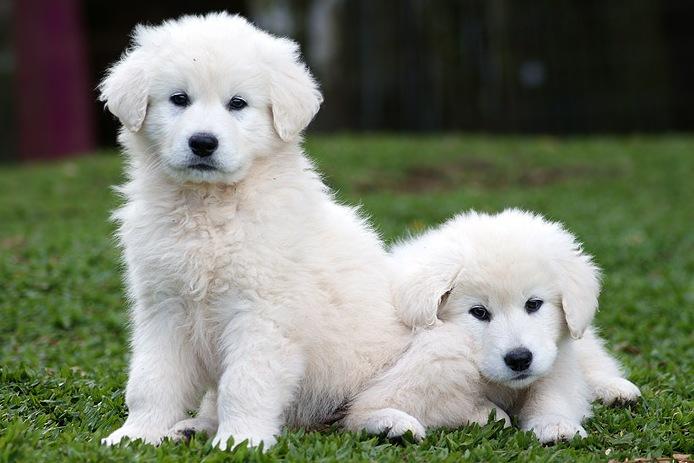 Temperamento de la raza de perro kuvasz
