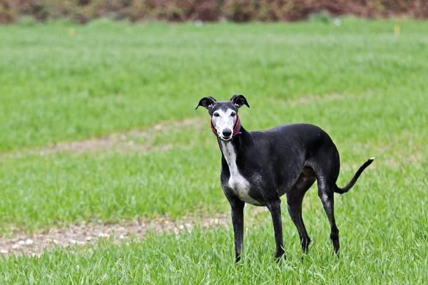 Temperamento de los perros de la raza galgo anglo-español