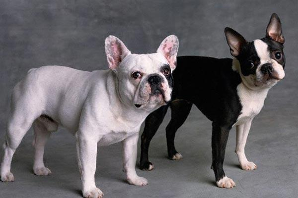 Temperamento del Boston Terrier y Bulldog Francés