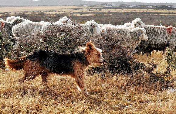 Temperamento del pastor ovejero magallánico