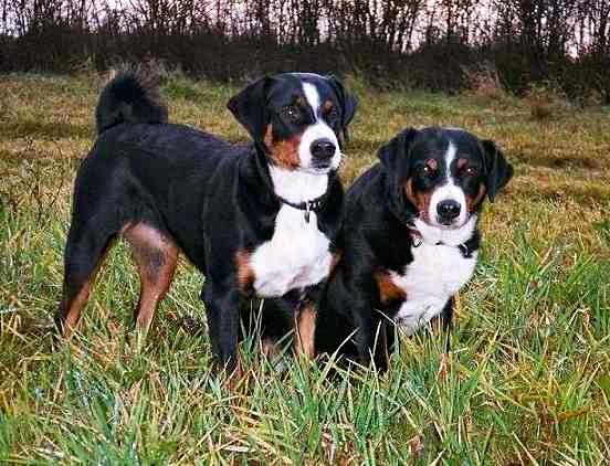 Temperamento del perro boyero de Appenzell