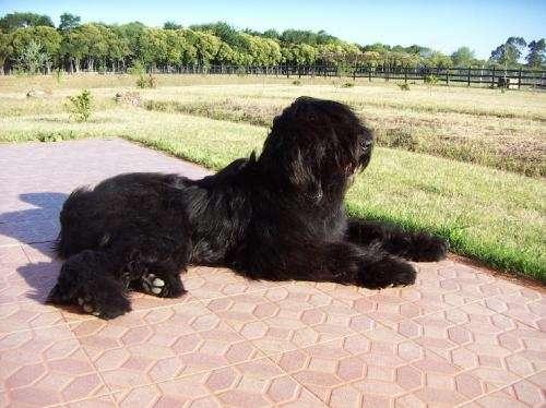Cuidados que debo darle a un perro terrier negro ruso