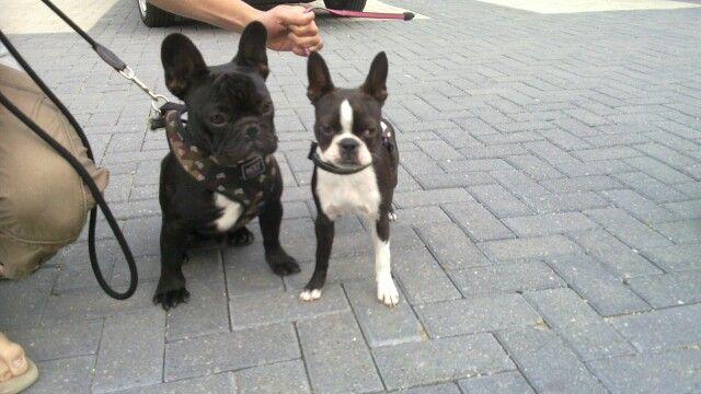 Tienen la misma calidad de salud los Boston Terrier y Bulldog Francés