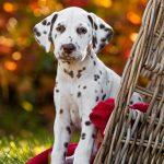 tipos de sordera en perros