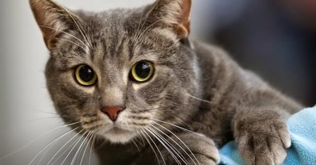 Tratamiento de la caspa en gatos