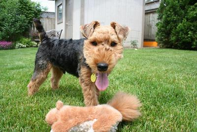 Historia del Welsh Terrier