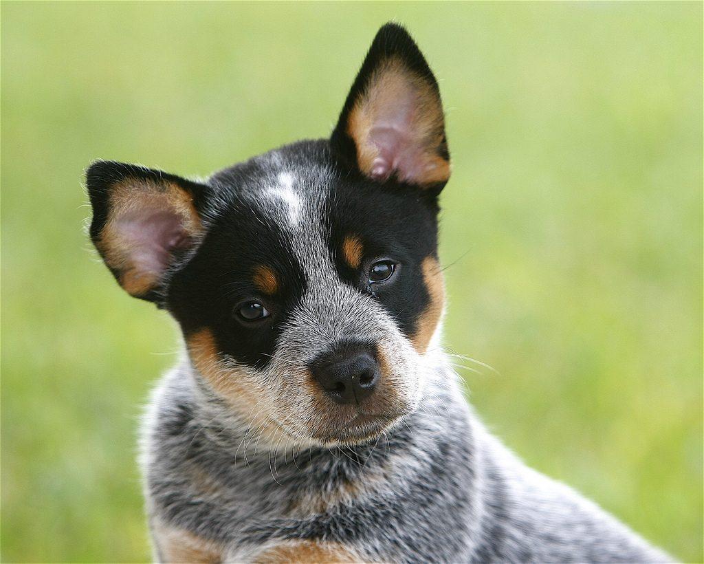 La salud del perro pastor ganadero australiano