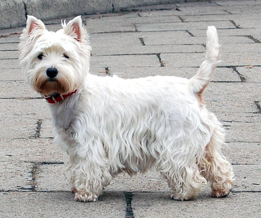 Salud de la raza west highland white terrier