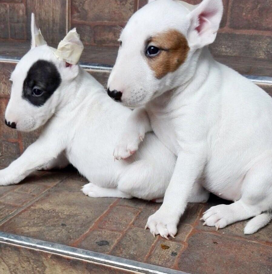 Salud del perro bull terrier inglés