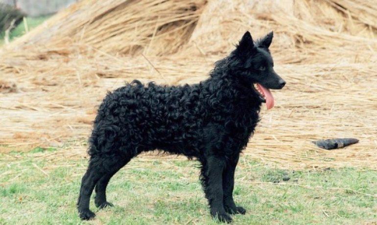 Perro de la raza mudi