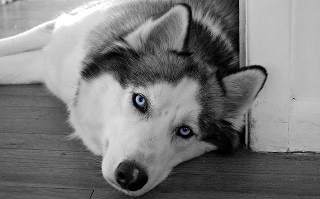 Adiestramiento de los perros husky siberiano