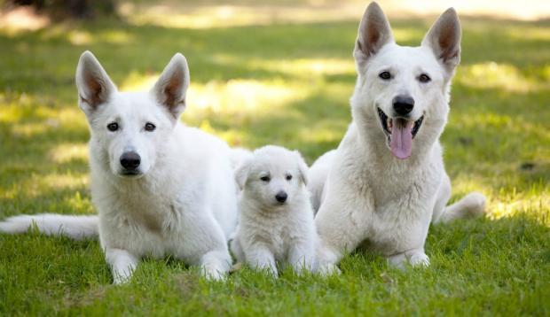 Adiestramiento del perro pastor alemán blanco suizo