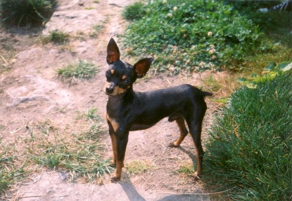 Adiestrar a un perro de la raza de perro ratón de Praga