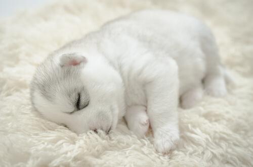 Así se hace la limpieza de las vías respiratorias de un cachorro recién nacido