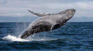 ballena yubarta