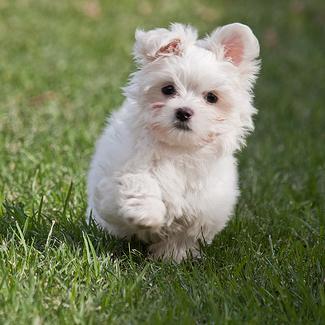 Qué cuidados necesita la raza de perro bichón maltés