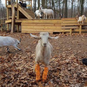 cabras en granja