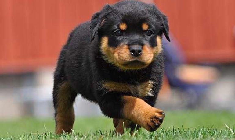 La Raza de Perro Rottweiler, un perro con mala fama  TODO en