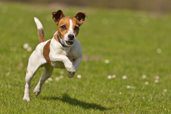 Carácter de la raza jack russell terrier