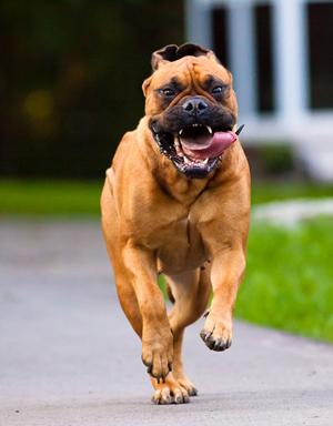 Carácter de los perros bullmastiff