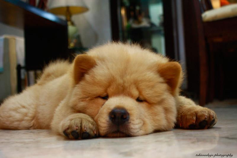 Carácter de los perros de la raza chow chow