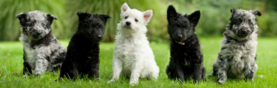 Carácter de los perros de raza mudi