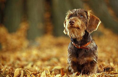 Carácter del dachshund o teckel