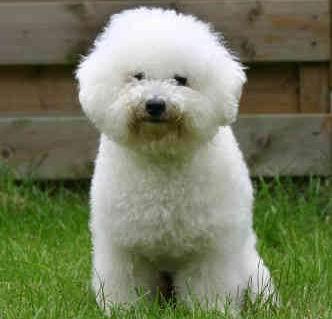 Carácter del perro bichón frisé