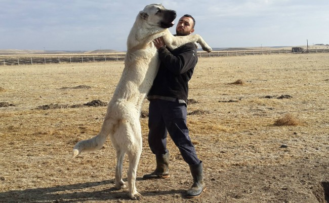 Carácter del perro de raza kangal