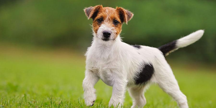Características del perro jack russell