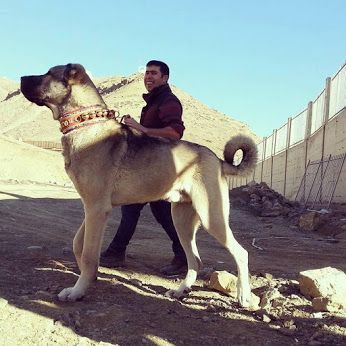 Características del perro turco kangal